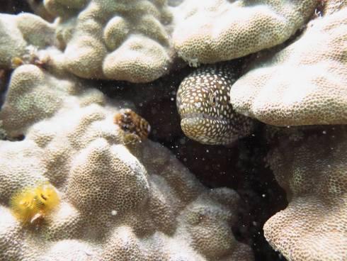 Hawaiian vacation eel with coral - scuba diving