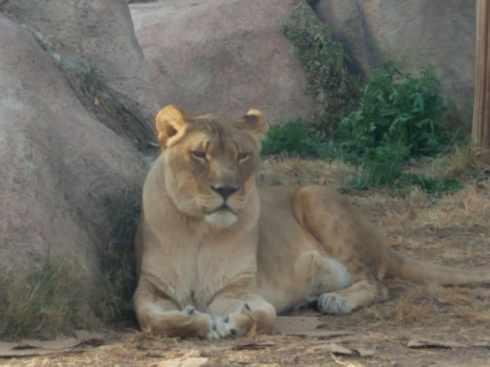 lioness at el paso zoo 3