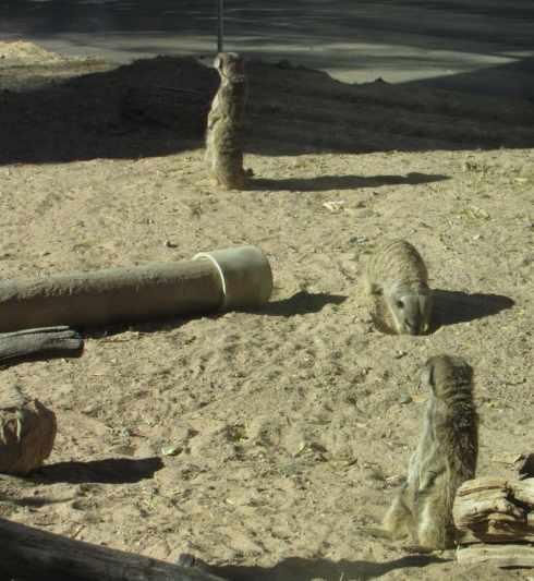 meerkat el paso zoo 1
