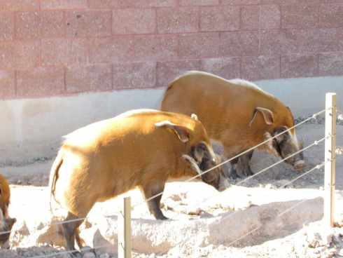 red river hogs el paso zoo