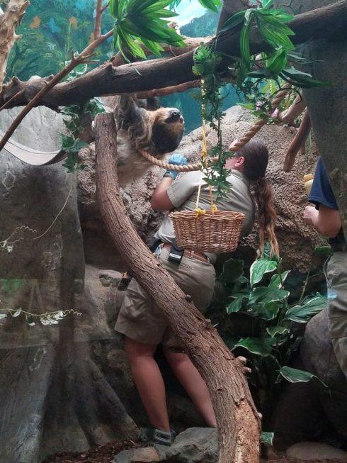 three toed sloth el paso zoo 4