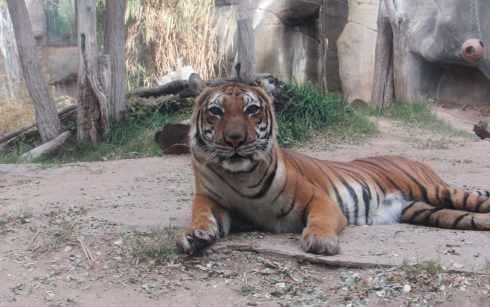tiger el paso zoo 2