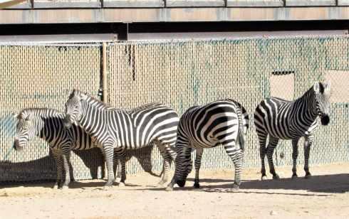 zebra el paso zoo 2