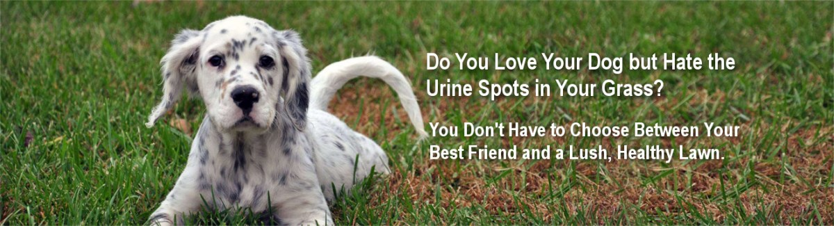You Can Stop Dog Urine From Killing Grass And Restore Your