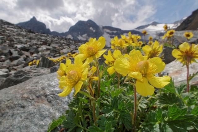 Weitere genügsame Blumen
