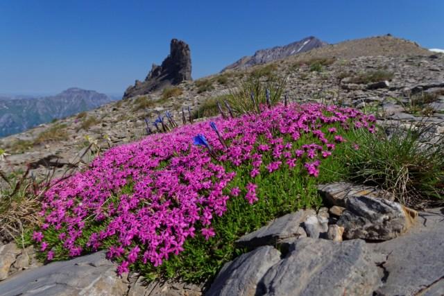Herrliche Alpenflora auf rund 2600 müM: zum Ersten...