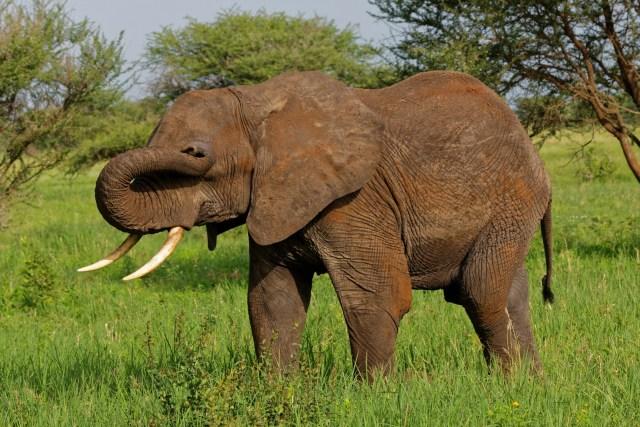 Ein Elefant, der sich auch noch die morgendliche Müdigkeit aus den Augen reiben muss