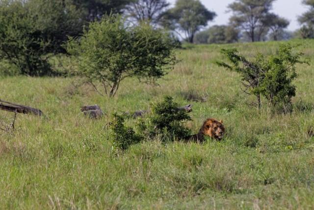 ...während Herr Löwe im Schatten das Leben geniesst