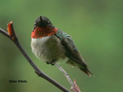 Species of Hummingbirds New England Region