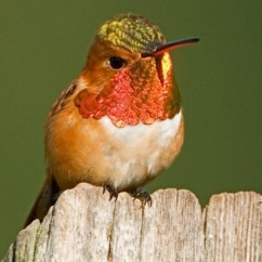 Hummingbird Diagram Of Color T Qua Mega 6 45 Facts Family Species Locations And Rufous