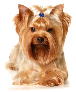 Frisur Yorkshire Terrier Kurze Frisuren