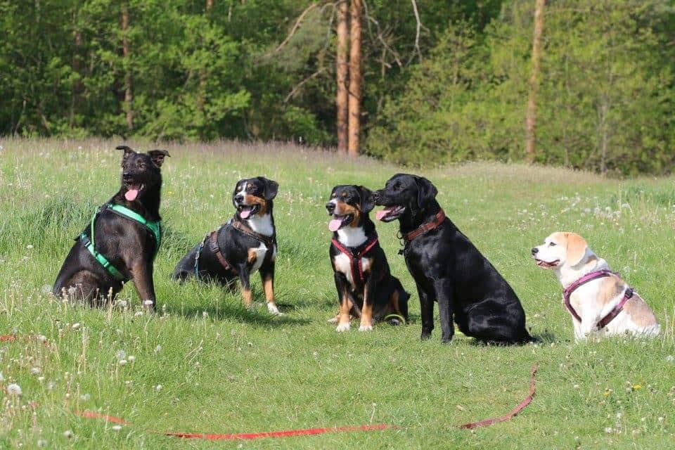 Kann man vom Dogwalking leben? Hundepension eröffnen Tagesbetreuung aufmachen Dogwalker werden Dogwalking Selbstständig machen als Dogwalker