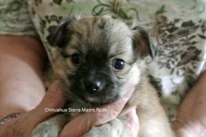 "Chihuahua Rüde Sierra Madre ""Torro"""