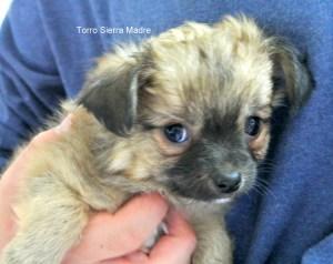Langhaar Chihuahua Torro Sierra Madre,8 Wochen, frei