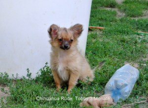 Chihuahua Rüde Torro frei