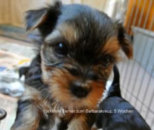 Yorkshire Terrier zum Barbarakreuz, 5 Wochen Rüde und Hündin frei