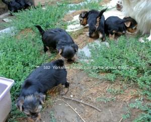Yorkshire Terrier zum Barbarakreuz, 6 Wochen Rüde und Hündinnen frei 0253885402 1. Ausflug in den Garten. Kinderfrau Jessy passt auf, dass sie sich nicht verlaufen.