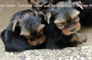 Yorkshire Terrier zum Barbarakreuz, 7 Wochen, Rüde und Hündin frei