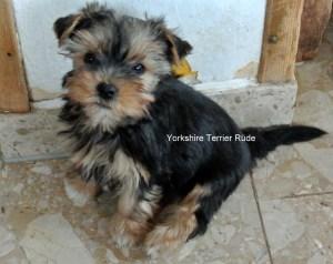 Yorkshire Terrier zum Barbarakreuz-9 Wochen Rüde frei