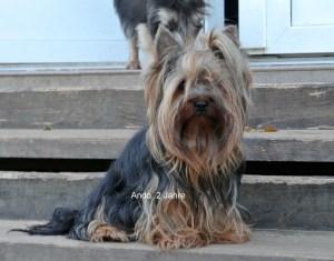 Yorkshire Terrier, unser Zuchtrüde