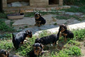 Yorkshire Terrier zum Barbarakreuz 7. Woche, sind bei gutem Wetter draußen,-abzugeben