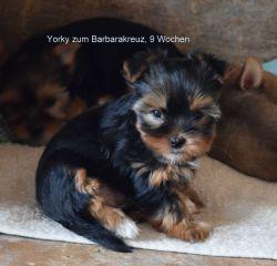Yorkshire Terrier zum Barbarakreuz 9. Woche, verkauft, - bleibt sehr klein