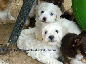 Zwerg Und Toy Pudel Vom Guten Kern Hundezucht Glanz Weil Erfolg Kein Zufall Ist