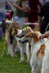 Borzoi på hundutställning