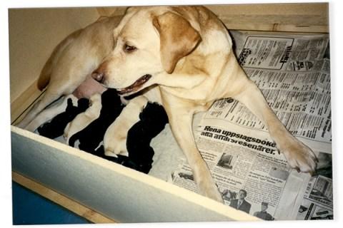 Labrador Retriever Copyright Allt om Hundutställning