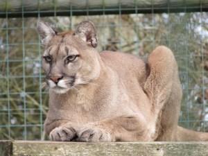 Mountain Lion at WHF Big Cat Sanctuary