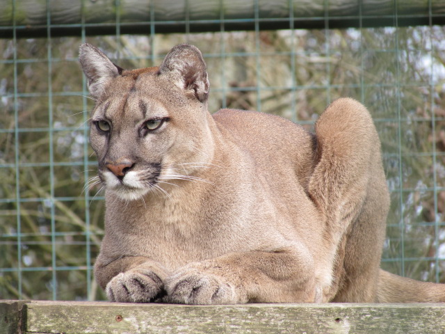 Mountain Lion at WHF Big Cat Sanctuary