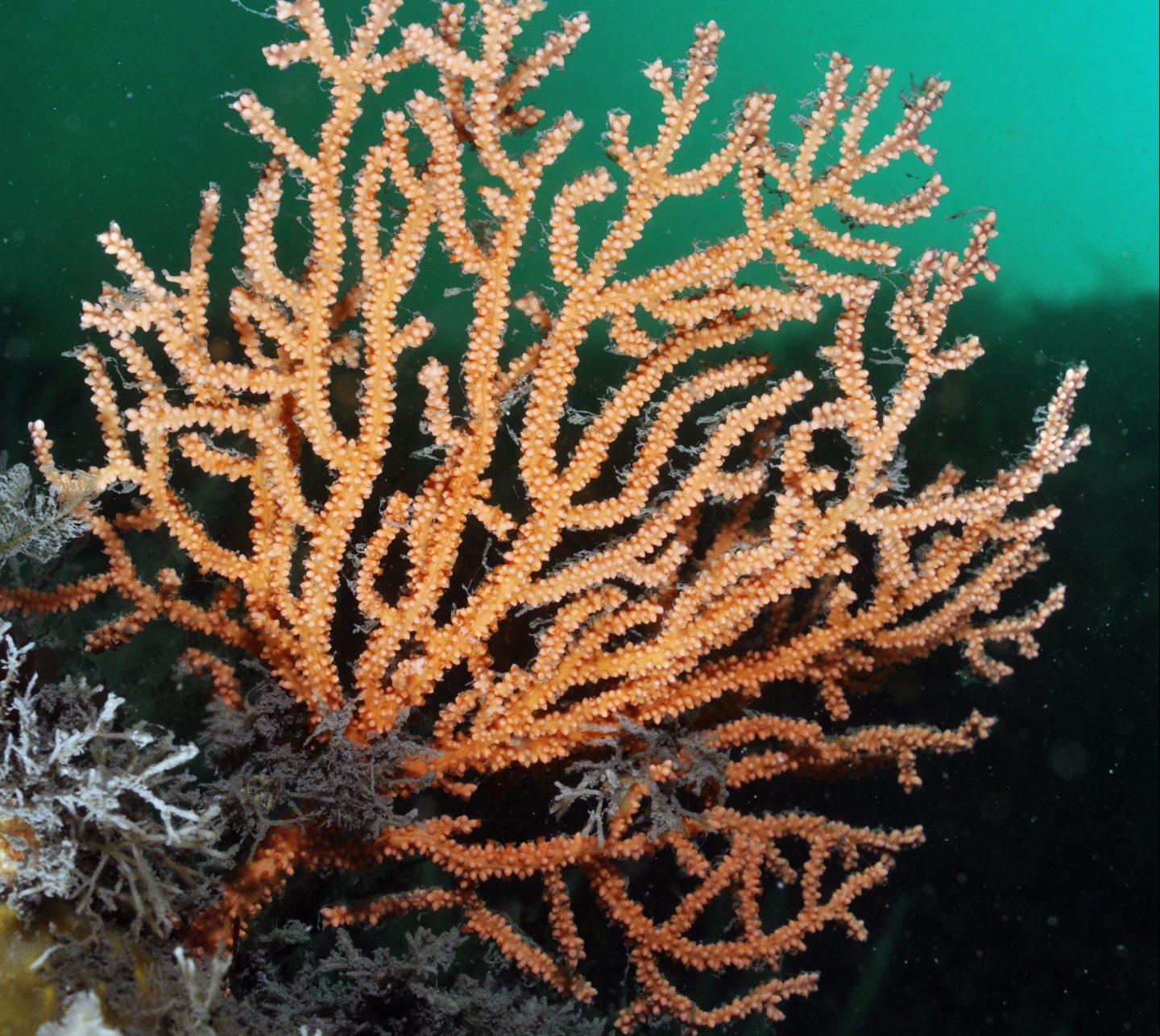 Pink sea fan / Warty coral (Eunicella verrucosa), Lundy Island Marine Conservation Zone, Devon, England, UK, May.