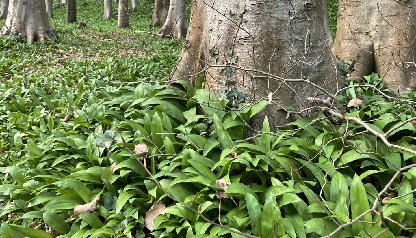 Where to Forage for Wild Garlic in Cardiff