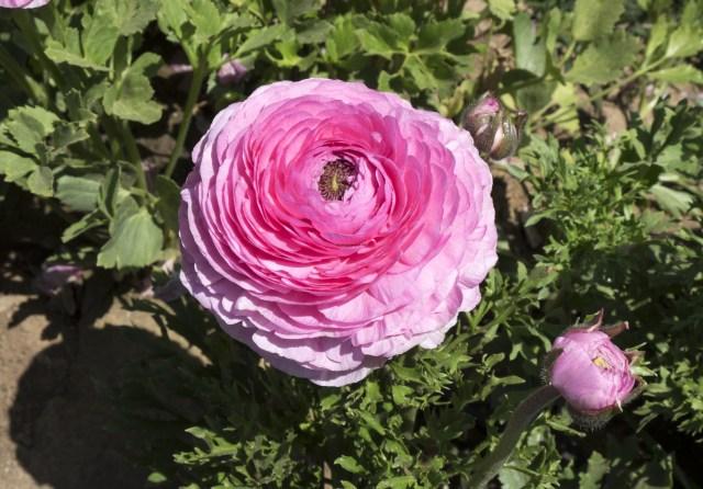 flower.fields.5838