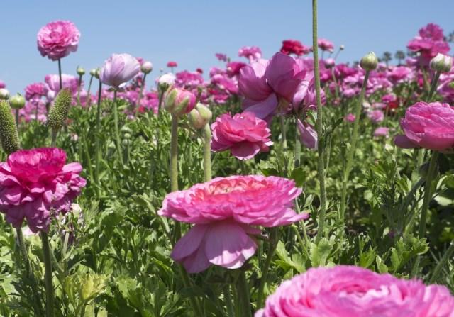 flower.fields.5840