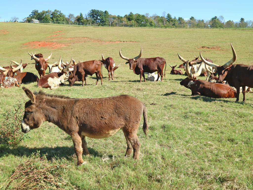 Asheville Farm to Table Tours - Carolina Bison Farm