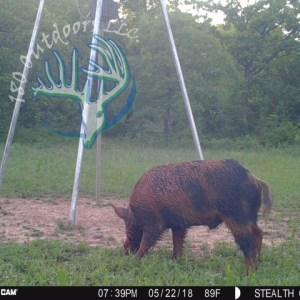 Hog Hunts