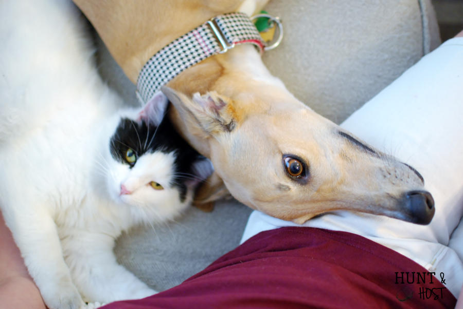 Six truths about adopting a greyhound. www.huntandhost.net