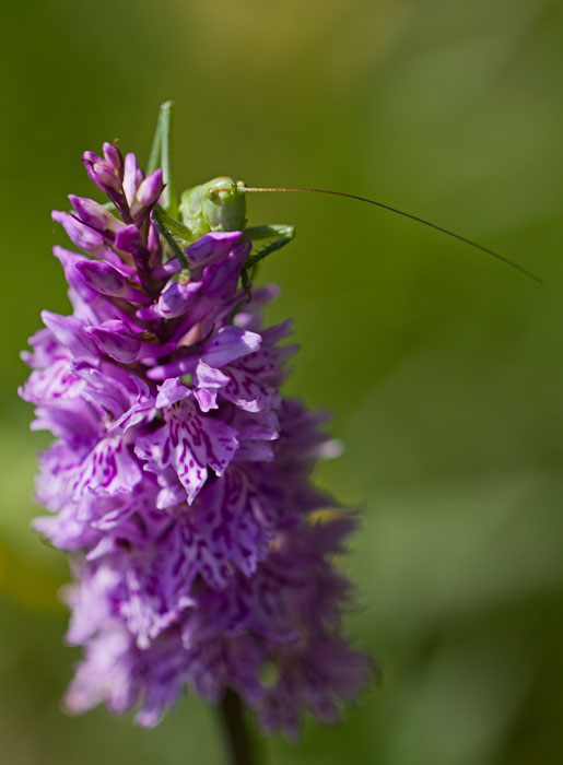 Conehead-Cricket-on-Common-Spotted-Orchid