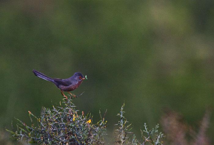 Dartford-Warbler