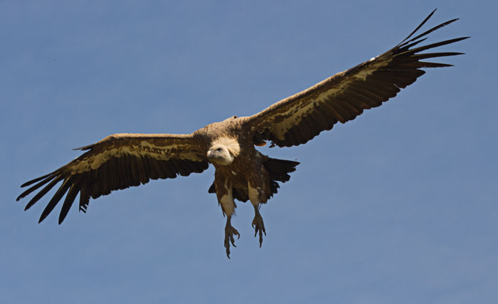 Griffon-Vulture-landing-gear-down