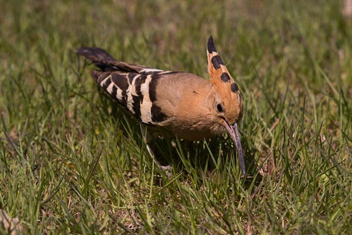 Hoopoe-with-prey