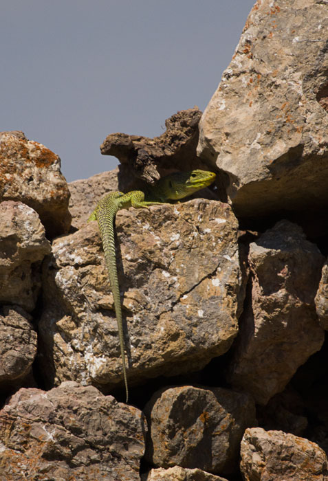 Ocellated-Lizard-in-the-wall