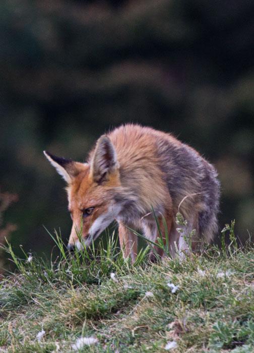 Red-Fox-1