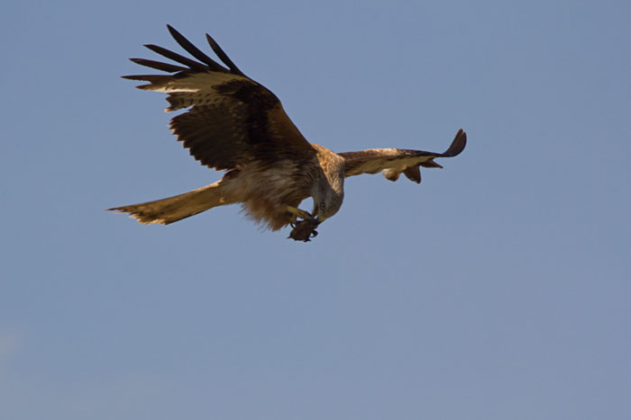Red-Kite-eating-on-the-wing