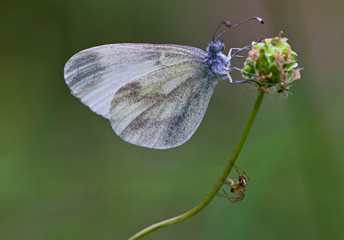 Wood-White-&-Spider