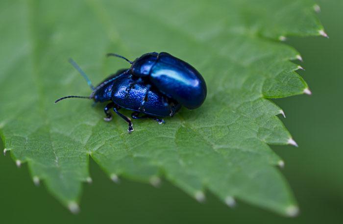 Alpine-leaf-beetle-(Oreina-gloriosa)-blue-form