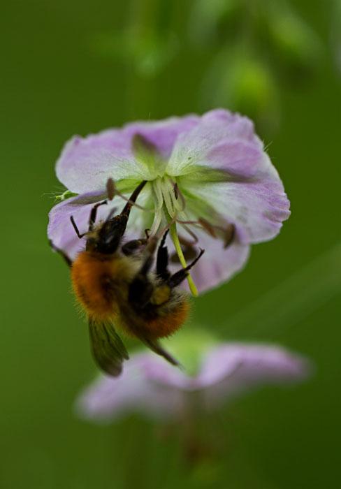 Bee-on-Geranium-phaeum
