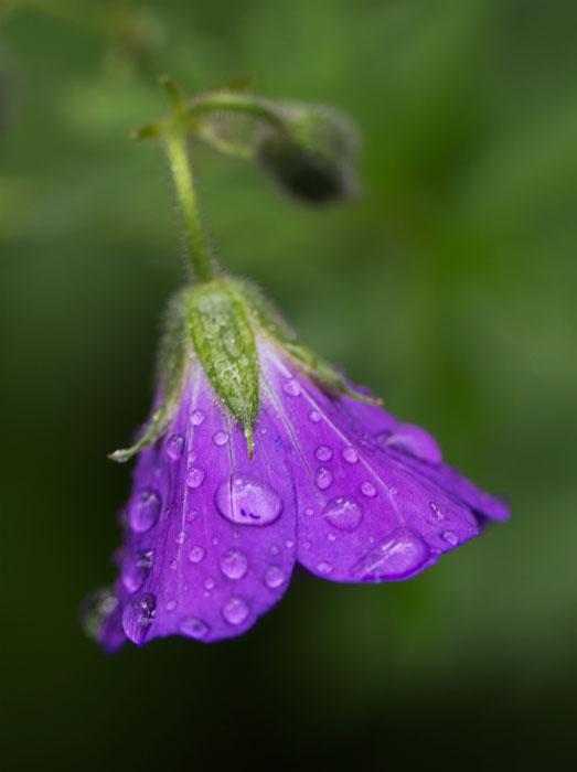 Geranium-Sylvaticum-in-the-rain