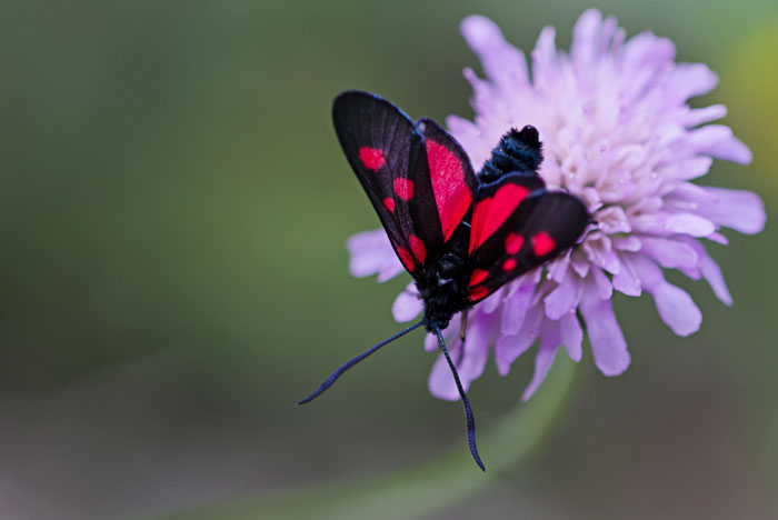 Narrow-Bordered-Five-Spot-Burnet-Moth